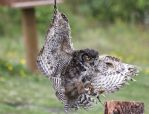 great horned owl by cola93