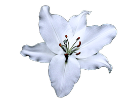 Lily - stock image by PomPrint