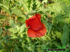 poppy by mAd---HaTTer