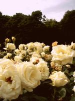 Roses by traceytoots