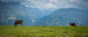 Austria Cows UWHD 21:9 2560x1080 Wallpaper by aradilon