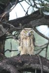 Baby Great Horned Owl by Shadow848327