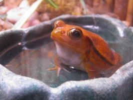Tomato Frog by Destroyah93