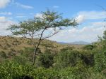 Young Acacia, Old Mountian by TheFriendlyElephant
