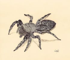 Jumping Spider by Fregatto