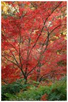 Japanese Maple by mybearjana