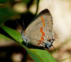 ..Red-banded Hairstreak.., by duggiehoo
