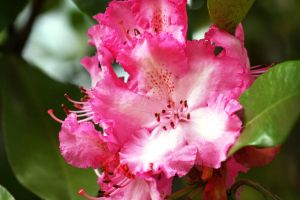 Hot Pink Rhodie by Cia81