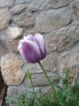 white and purple tulip by MyBrightSide33