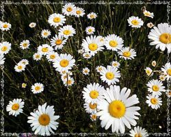 Daisies by JDM4CHRIST