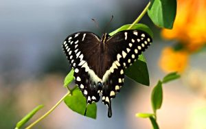 Palamedes swallowtail 2 by Monkeystyle3000