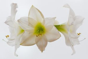 Amaryllis in the fog by pho2s4me