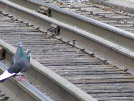 train de pigeons... by Redcorp