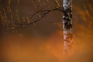 spring birch by mescamesh