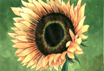 Sunflower by grim1978