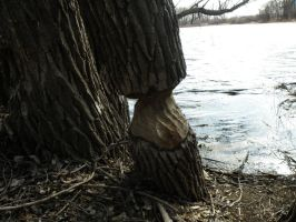 Beaver tree by AGirlWithDreams96