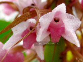 little pink orchid.2 by Tegori
