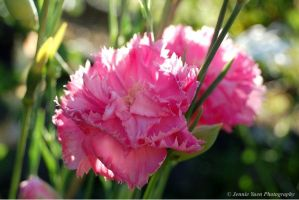 Pink Carnation by sweetcivic