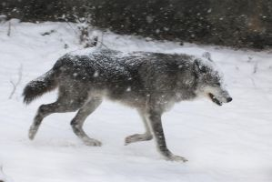 Gray Wolf Stock 40: Running in Snowstorm by HOTNStock