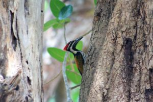 The Greater Flameback by vwake