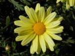 Spring Daisy by statueofsirens