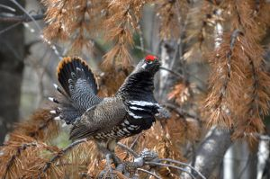 Spruce Grouse 1 by xxsimplicity-stock
