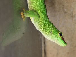 Madagascar giant day gecko by Lankeemuksen
