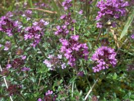 Thyme (i think) by Amykat12