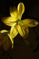 Yellowy Lillies by mr-macd