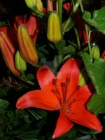 Red Asiatic Lily 1 by racheltorres921