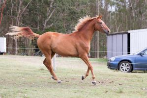 Dn WB chestnut canter side view by Chunga-Stock