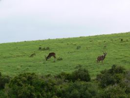 Kudu Males by Confussed-Stock