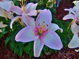 Pink Lilies by jim88bro