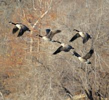 Winter Canadian Geese by Merhlin