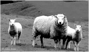 Painted Sheep II in B/W by lukias-saikul