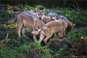 Wolfpack1 by brijome