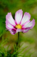 Cosmos in all its beauty ! by lindylouxxx