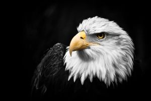 Bald Eagle by CarpathianWolf