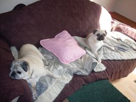 pugs on a couch by tabby25