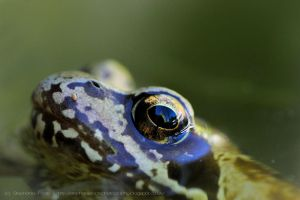 Frog II by StephiPhotography