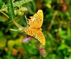 Nikko Golden Butterfly by AndySerrano
