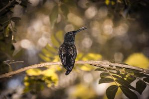 Hummingbird by stinebamse
