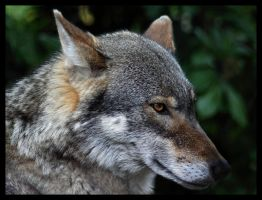 European Wolf by Alannah-Hawker
