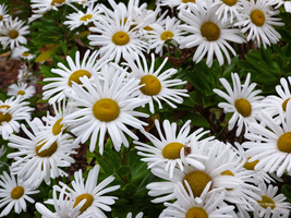Autumn daisies by Mogrianne