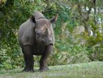 Black Rhino by Wisdomsson