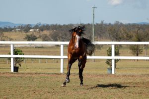 GE arab pinto  big canter little leap front on by Chunga-Stock