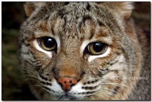 Bobcat up Close  III by LoneWolfPhotography