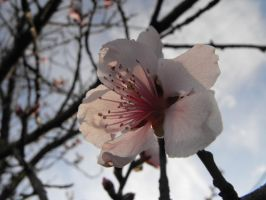 Peach Blossoms ver.6 by XiaAmane