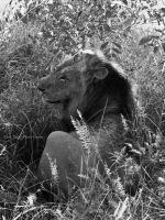 My first Lion Photo by WhiteBook