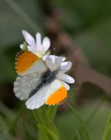 Orange Tip Butterfly by naturelens